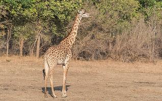 Thornicroft_Giraffe.jpg