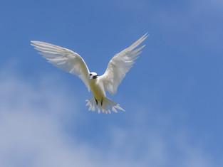 Fairy Tern