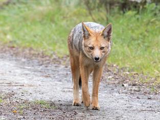 Culpeo (Andean Fox)