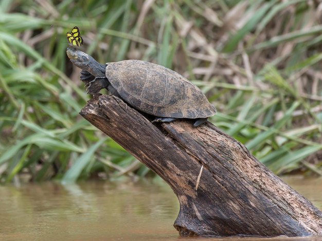 Yellow-spotted River Turtle