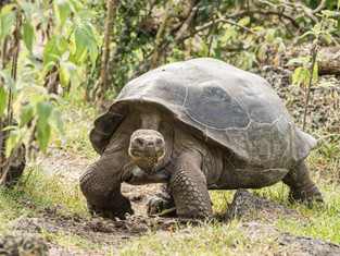 Galápagos Giant Tortoise