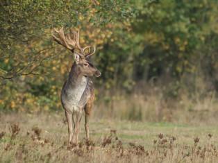 Fallow Deer (buck)
