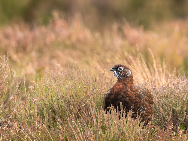 Red Grouse (male)