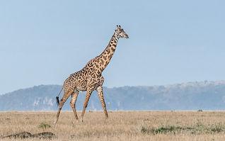 Masai_Giraffe.jpg