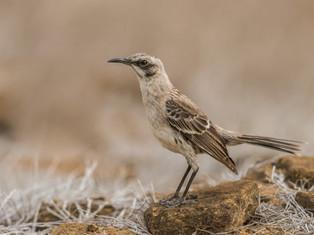 Chatham Mockingbird