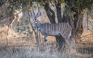 Lesser_Kudu.jpg