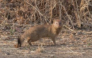 Bushy-tailed_Mongoose.jpg