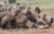Eurasian Griffon Vultures