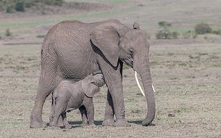 African_Elephant.jpg