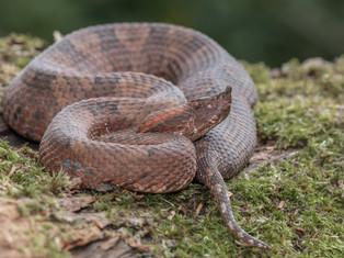 Rainforest Hognosed Pitviper