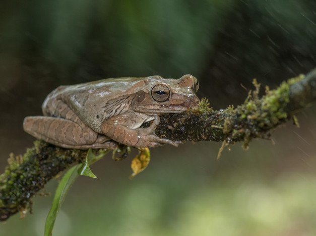 Tawny Tree Frog