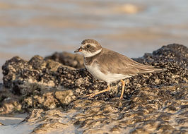 Semipalmated_Plover.jpg