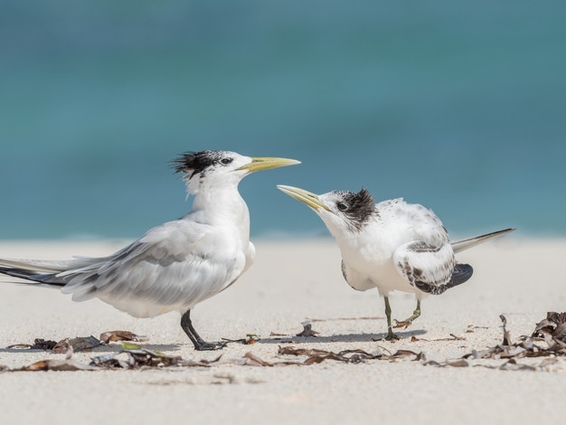Greater Crested Terns
