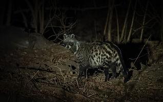 African_Civet.jpg