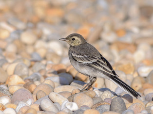 Pied Wagtail (juvenile)