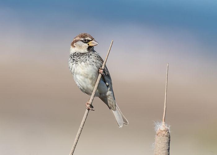 Spanish_Sparrow.jpg