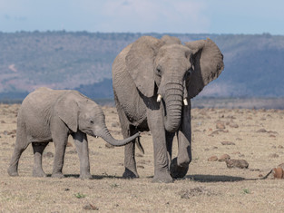 African Savanna Elephants