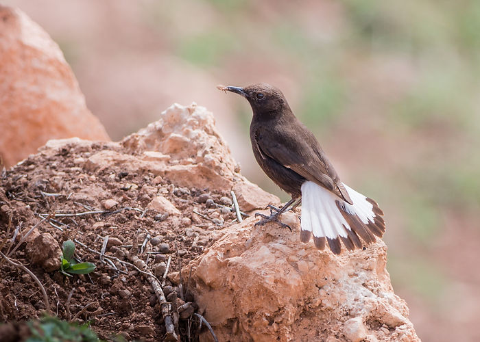 Black Wheatear