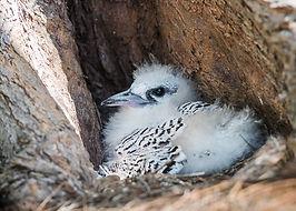 White-tailed_Tropicbird.jpg