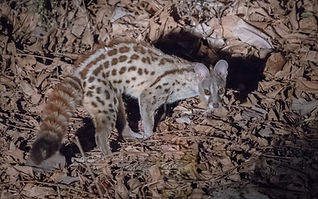Small-spotted_Genet.jpg