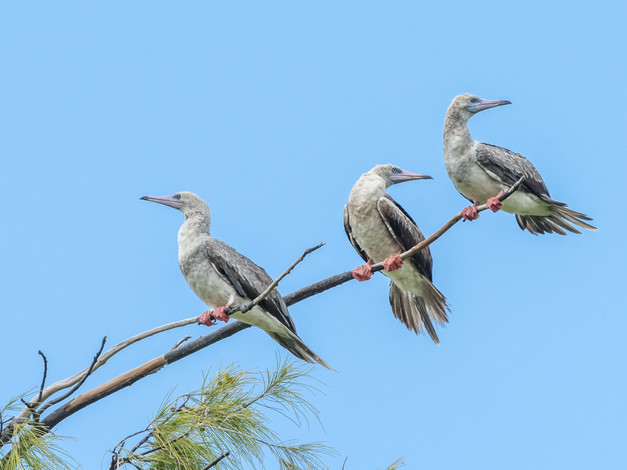 Red-footed Boobies