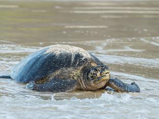 Galápagos Green Turtle