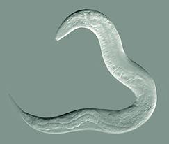 c. elegans.jpg