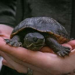 Vito the turtle
