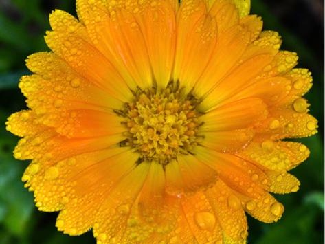 Calendula Officinalis. The Sunniest Herb.