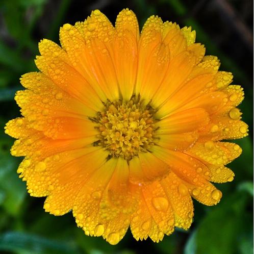 Calendula Flowers Marigold | Bulk Herb