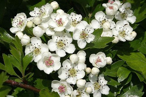 Hawthorn Flower & Leaf   Bulk Herb