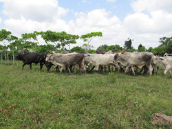 Caribbean Livestock 1