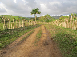 Caribbean Livestock Roads8