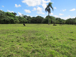 Caribbean Livestock Pastures8