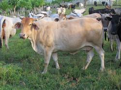 Caribbean Livestock 4