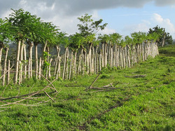 Caribbean Livestock Roads7