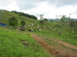 Caribbean Livestock 2