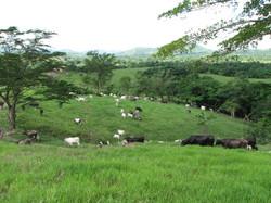 Caribbean Livestock 3
