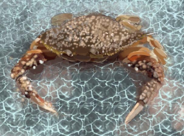 crab - IPAD drawing