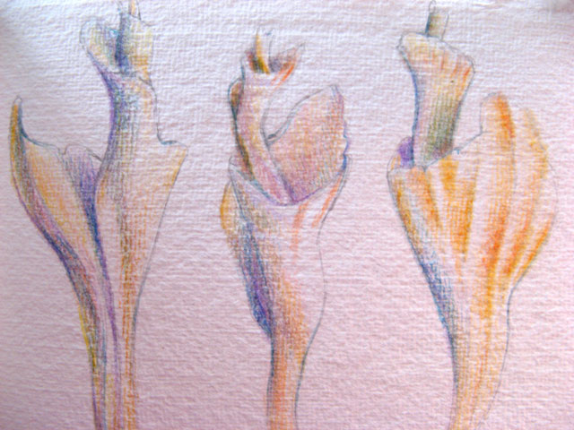 lightning whelks - colored pencil