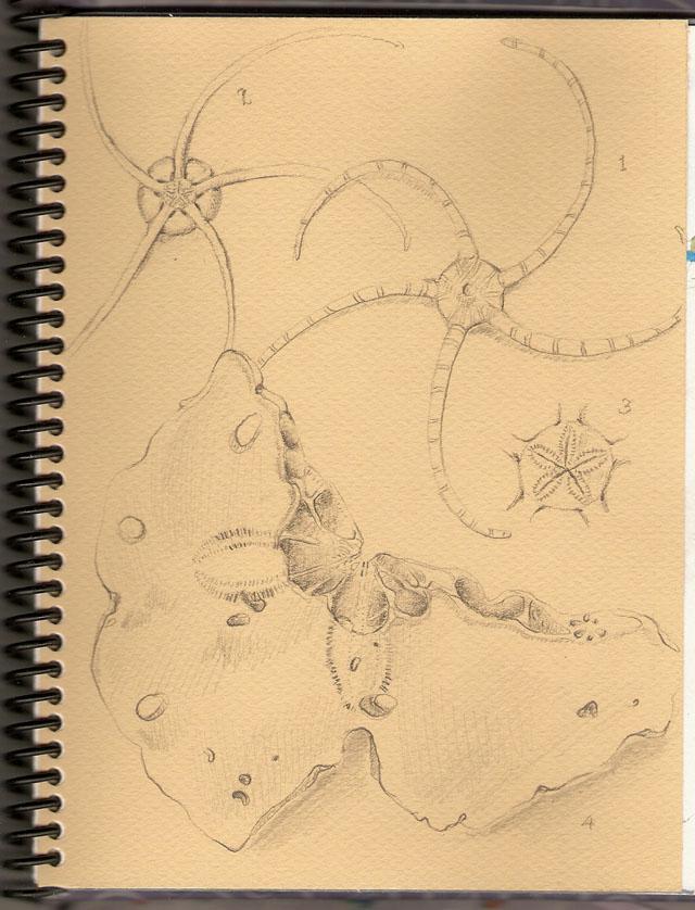 starfish and sand dollar - graphite