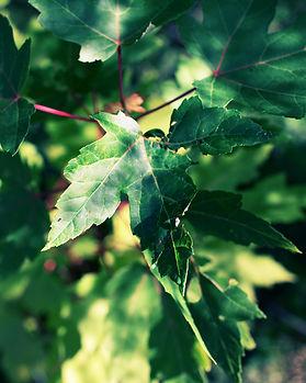 maple leaf spring2.jpg