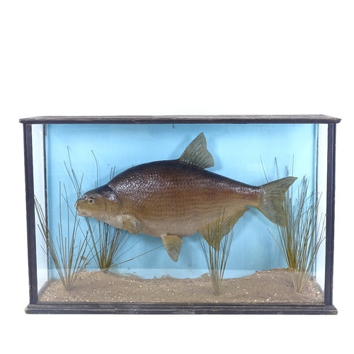 TAXIDERMY - a bream in naturalistic reed bed setting