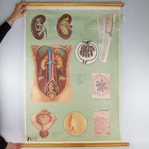 A medical diagram poster, Urinary Apparatus, cloth-backed