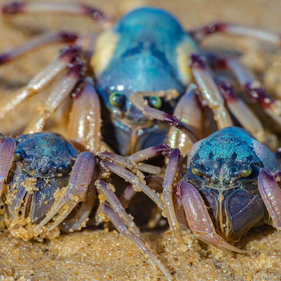 Sand Bubble Crabs