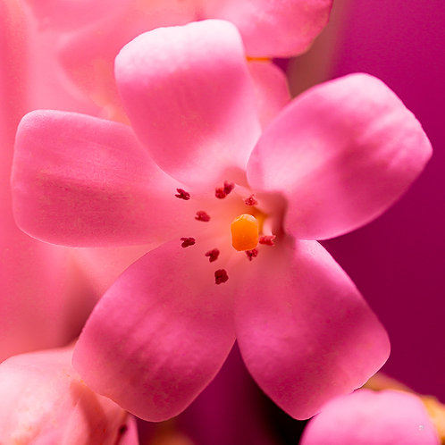 Pink Jasmine Flower White | Macro | Commercial Use Licence