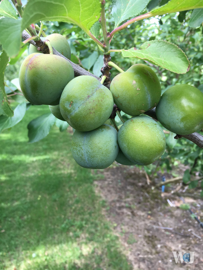 New Zealand Greengage Plum