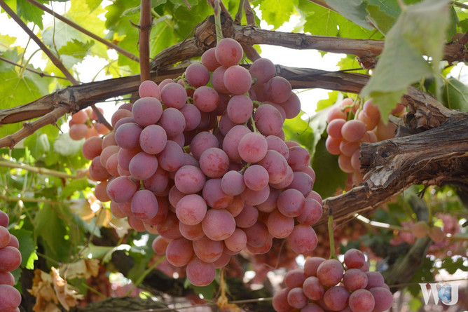 How are Grapes Grown