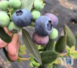 Chile Blueberries