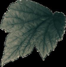 Single Leaf.png